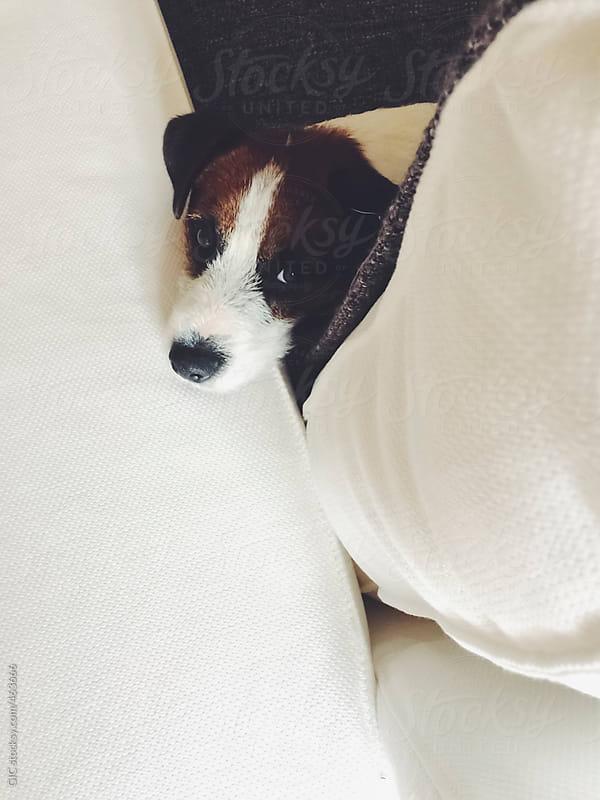 Cute dog enjoying the sofa by GIC for Stocksy United