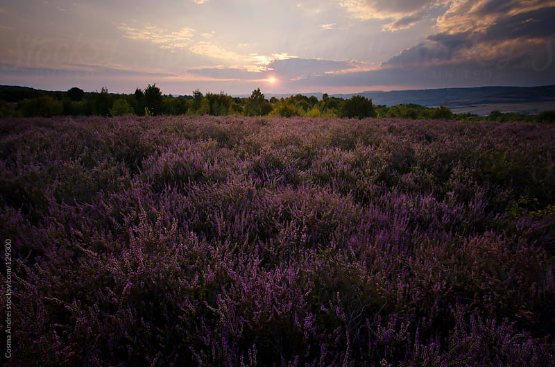 Purple lavander field at sunset by Cosma Andrei for Stocksy United