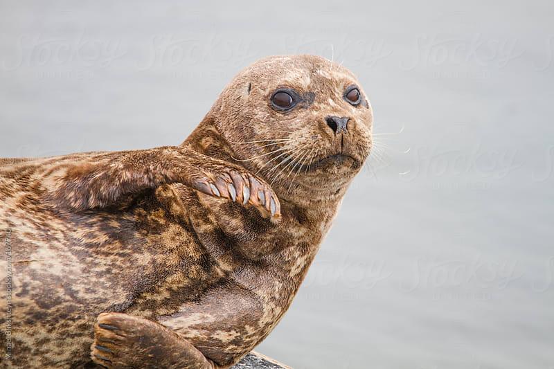Wild harbor seal resting on pier by Mihael Blikshteyn for Stocksy United