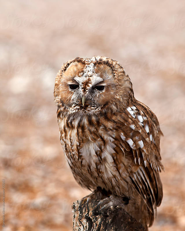 Tawny Owl Closeup Perched on a Tree Stump by Brandon Alms for Stocksy United