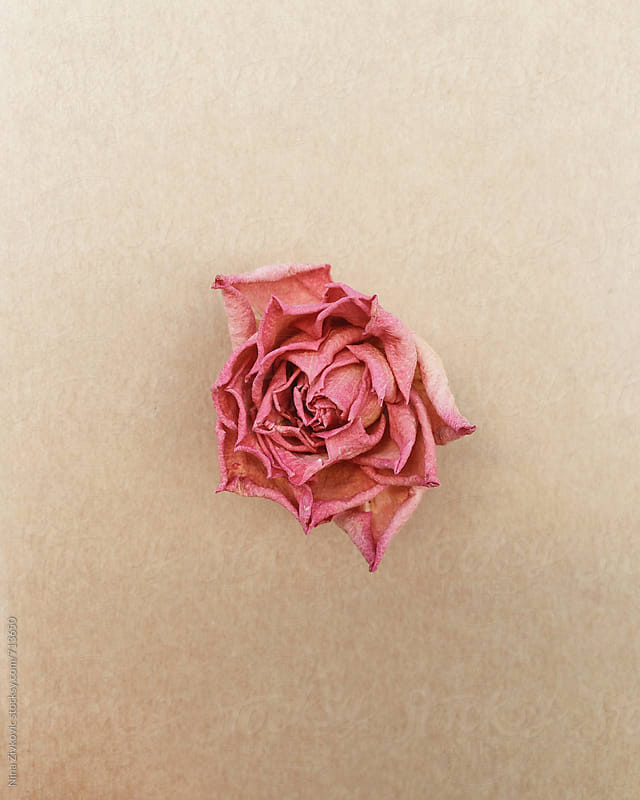 A little dry rose.  by Nina Zivkovic for Stocksy United