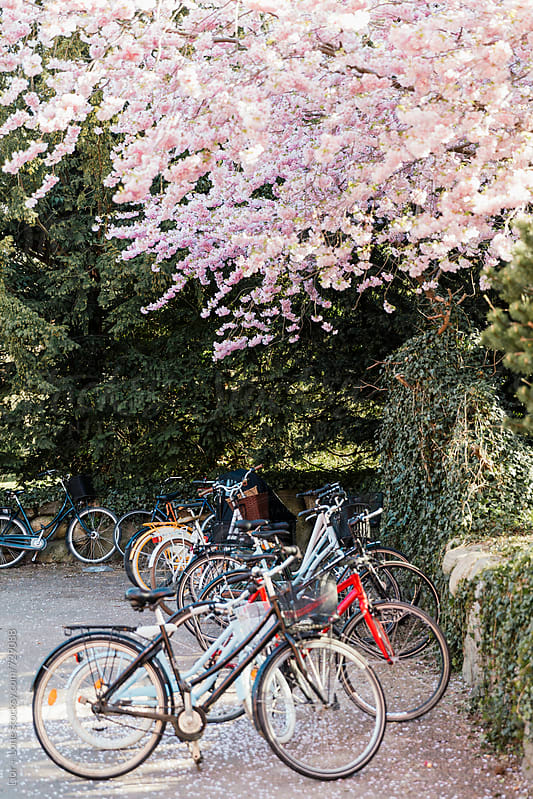Lots of bicycles parked under a cherry tree by Lior + Lone for Stocksy United