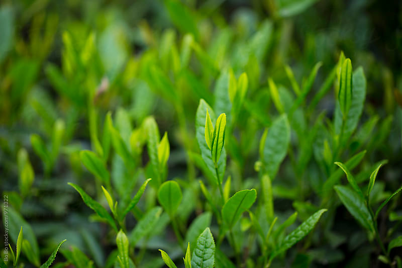 close up of green tea leaf by Bo Bo for Stocksy United