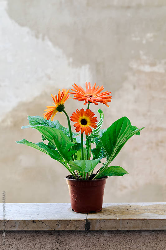 gerbera flowers by juan moyano for Stocksy United