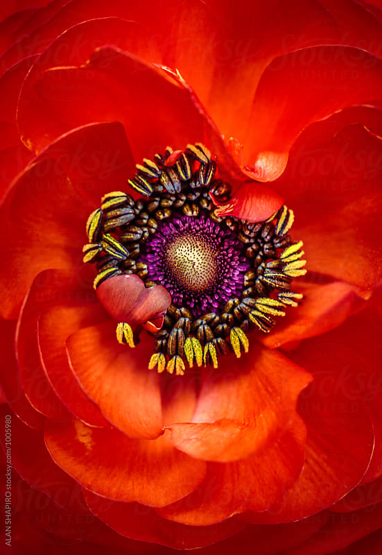 ranunculus macro by alan shapiro for Stocksy United