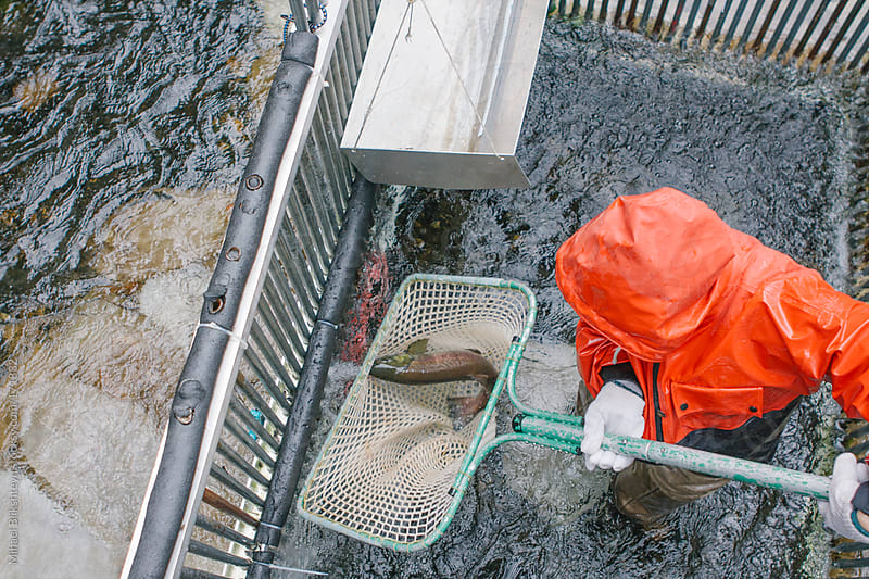 Female fishery biologist netting sockeye salmon for research by Mihael Blikshteyn for Stocksy United