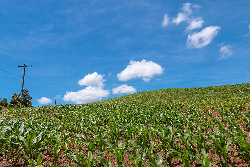 Corn Field with blue sky by Lucas Brentano for Stocksy United