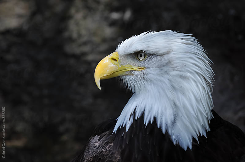 Bald eagle (Haliaeetus leucocephalus) by Gabriel Ozon for Stocksy United