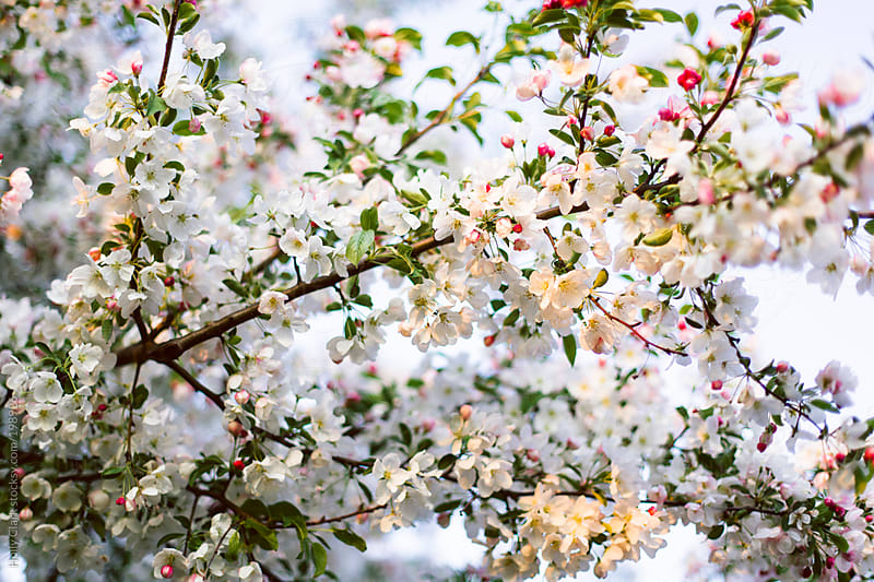 Beautiful white and pink blossoms of a budding crab apple tree. by Holly Clark for Stocksy United