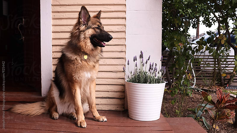 German Shepherd waiting on a porch by Joseph West Photography for Stocksy United