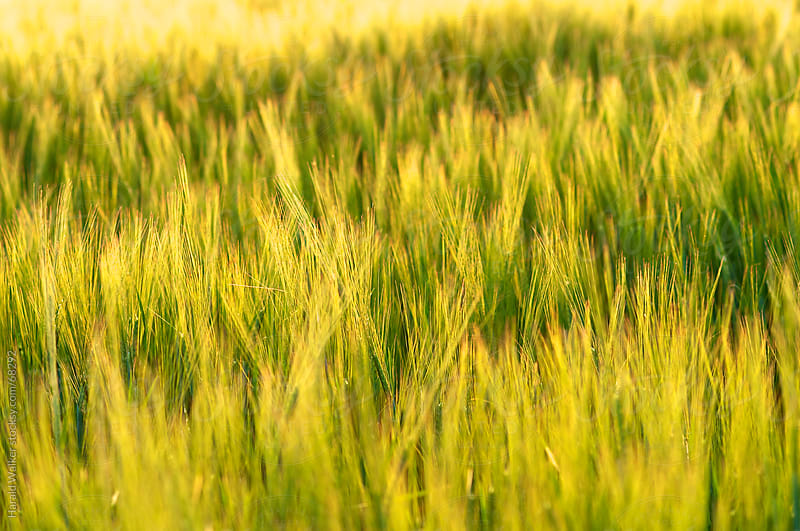 Barley field in the evening sun by Harald Walker for Stocksy United