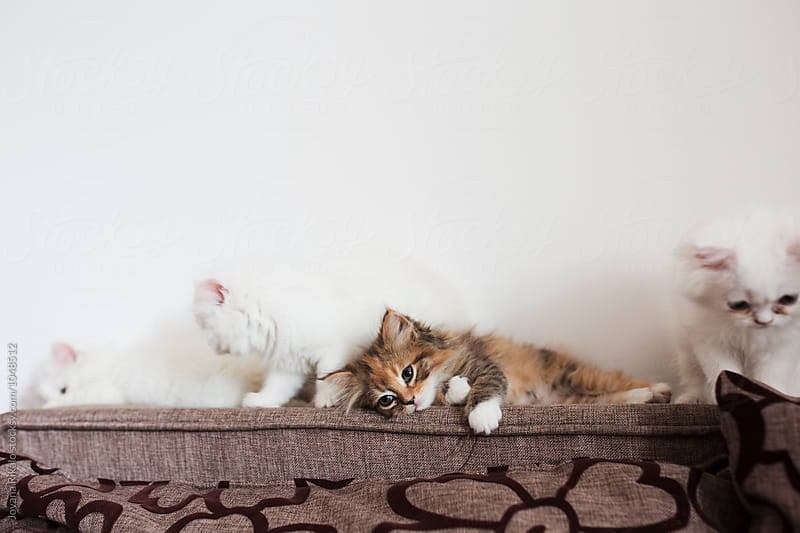 Persian kittens by Jovana Rikalo for Stocksy United