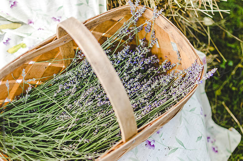 Basket of freshly cut lavender by Lindsay Crandall for Stocksy United