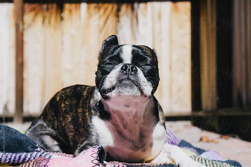 Bruce the Boston Terrier sunbathing. by Shannon Aston for Stocksy United