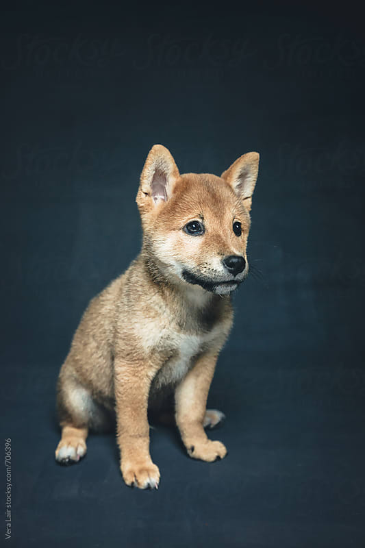 Adorable shiba inu puppy by Vera Lair for Stocksy United