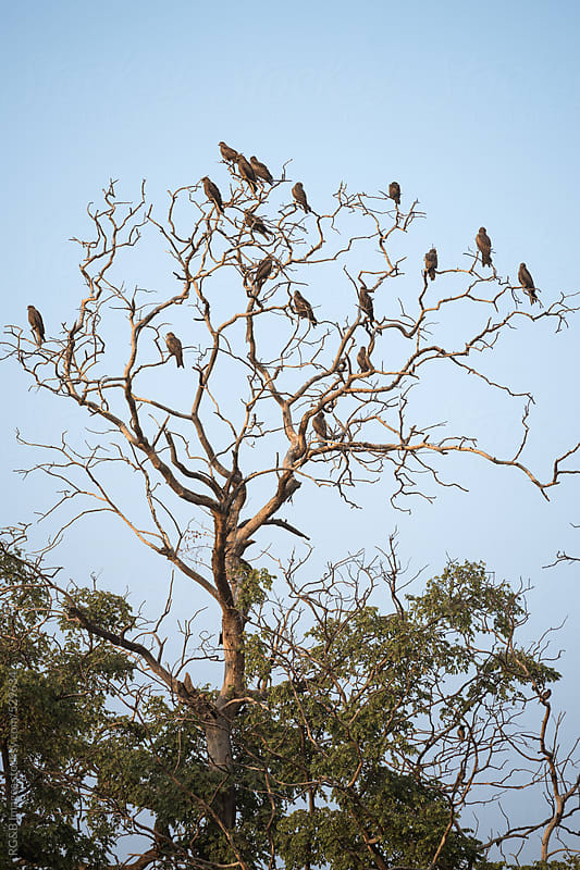 Steppe Eagles in a tree  by RG&B Images for Stocksy United