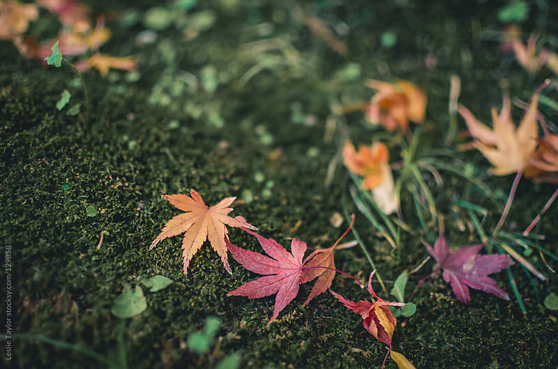 Autumn Leaves On Green Moss by Leslie Taylor for Stocksy United
