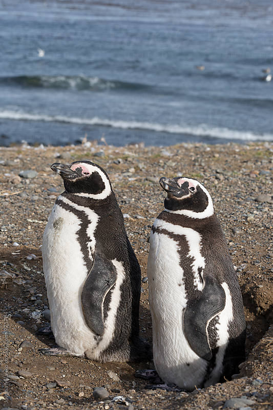 Magellanic penguin pair resting at the beach of South America by Jovana Milanko for Stocksy United