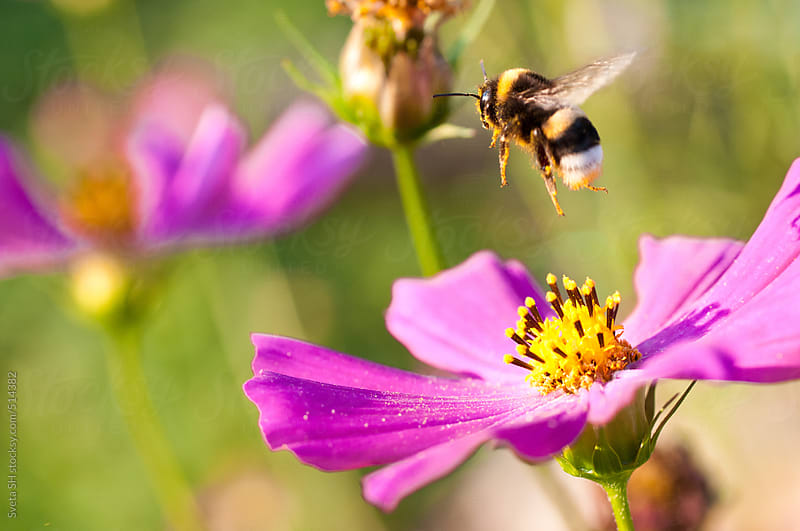Bumblebee (Bombus) on a flower of Cosmos bipinnatus  by Sveta SH for Stocksy United