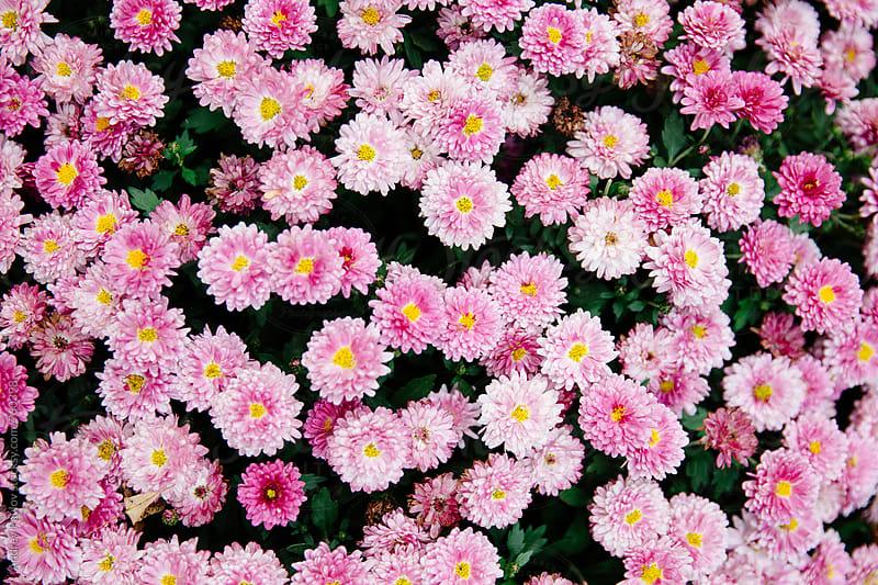 Pink chrysanthemum background by Andrey Pavlov for Stocksy United