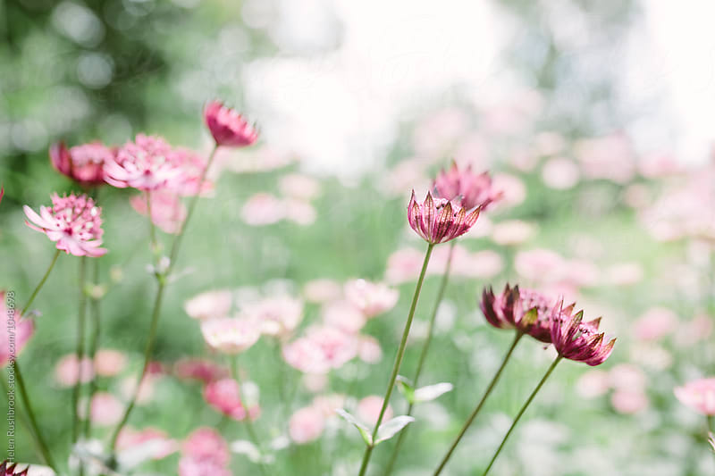 Astrantia Major flowers by Helen Rushbrook for Stocksy United