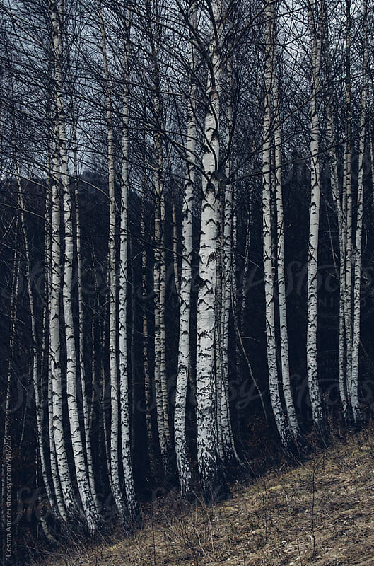 Birch trees forest by Cosma Andrei for Stocksy United