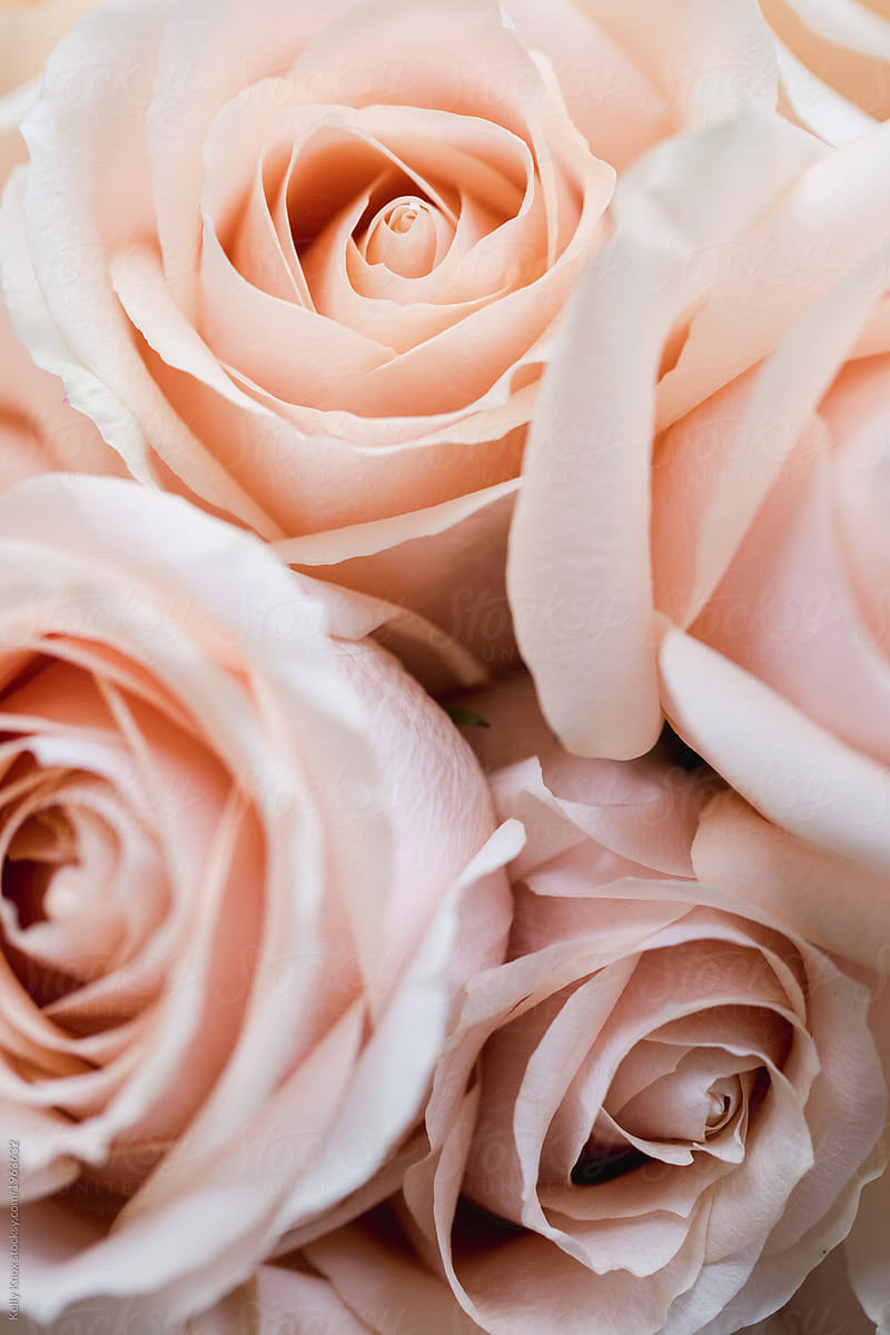 Bouquet Of Pale Pink Roses Stocksy United
