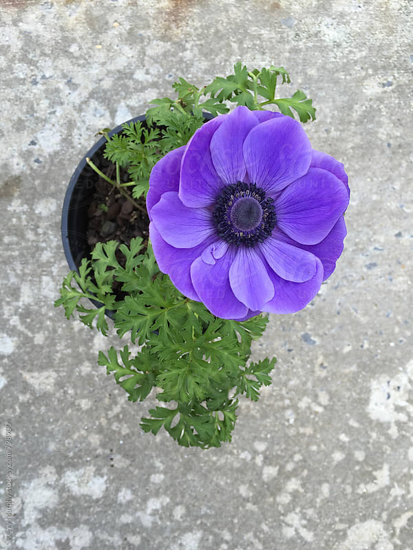 Purple anemone flower from above by Kerry Murphy for Stocksy United