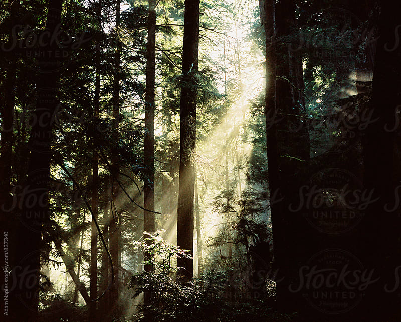 Sunrise in the Redwoods by Adam Naples for Stocksy United