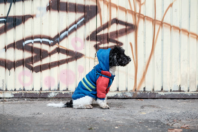 Puppy with Hoodie Sitting on the Street in Front of Graffiti by Branislav Jovanović for Stocksy United
