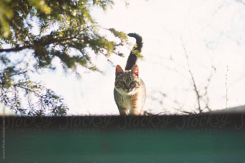 Young cat on a roof  walking and looking at camera by Jovana Rikalo for Stocksy United