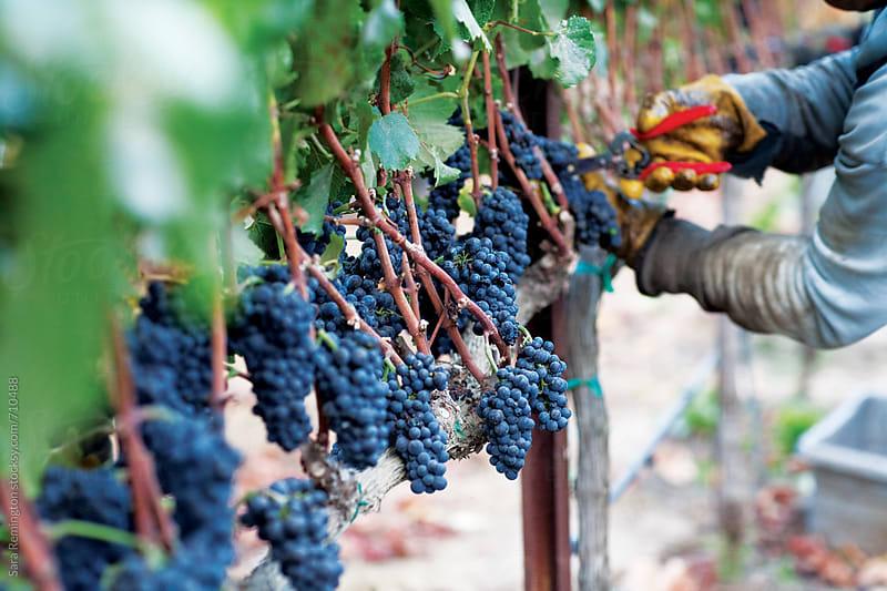 Harvesting Grapes in Vineyard by Sara Remington for Stocksy United