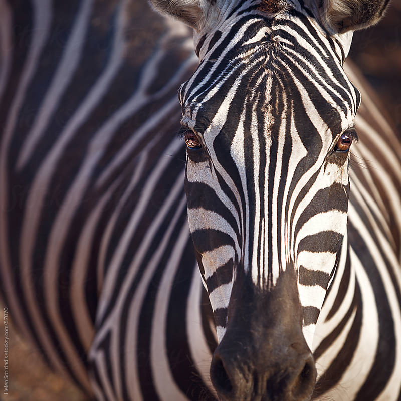 Zebra at the Zoo by Helen Sotiriadis for Stocksy United