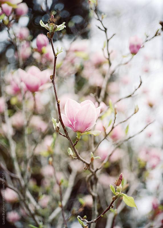 Magnolia in blossom by Liubov Burakova for Stocksy United