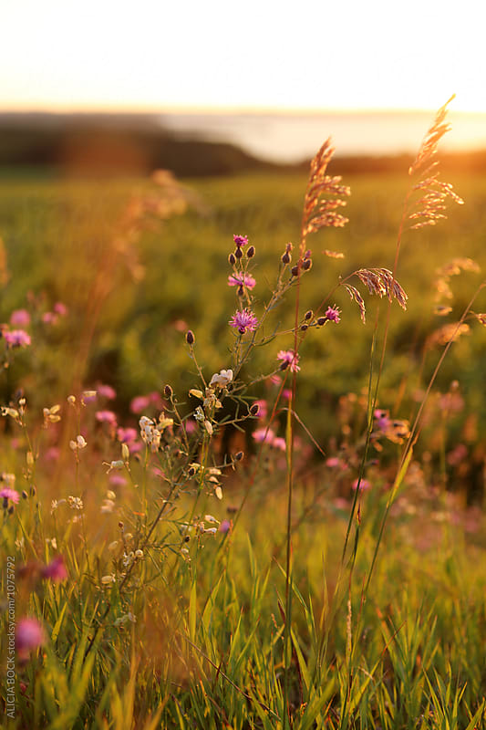 Close Up Of Wildflowers Growing In Front Of A Northern Michigan Vineyard At Sunset by ALICIA BOCK for Stocksy United