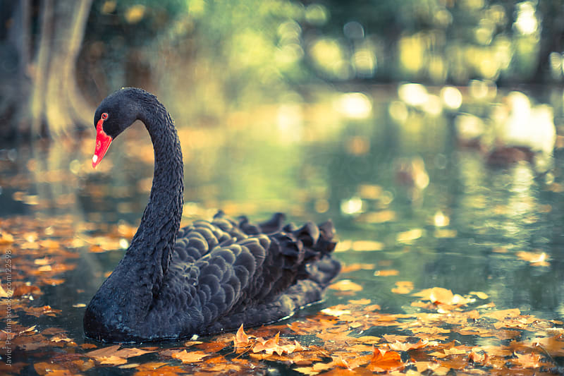 A black swan floating on a small lake in autumn by Javier Pardina for Stocksy United