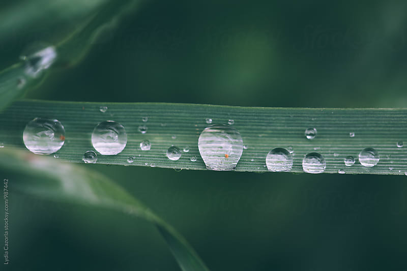 Macro of water droplets on a leaf by Lydia Cazorla for Stocksy United