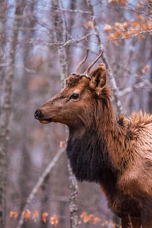 Profile Of An Elk In The Woods by Matthew Smith for Stocksy United