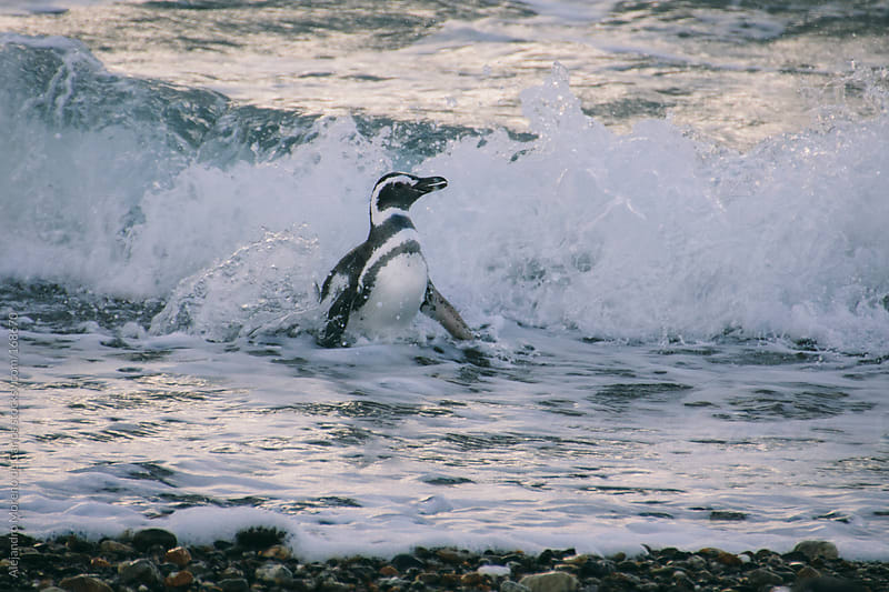 Magellanic penguin coming out of the water in Patagonia by Alejandro Moreno de Carlos for Stocksy United