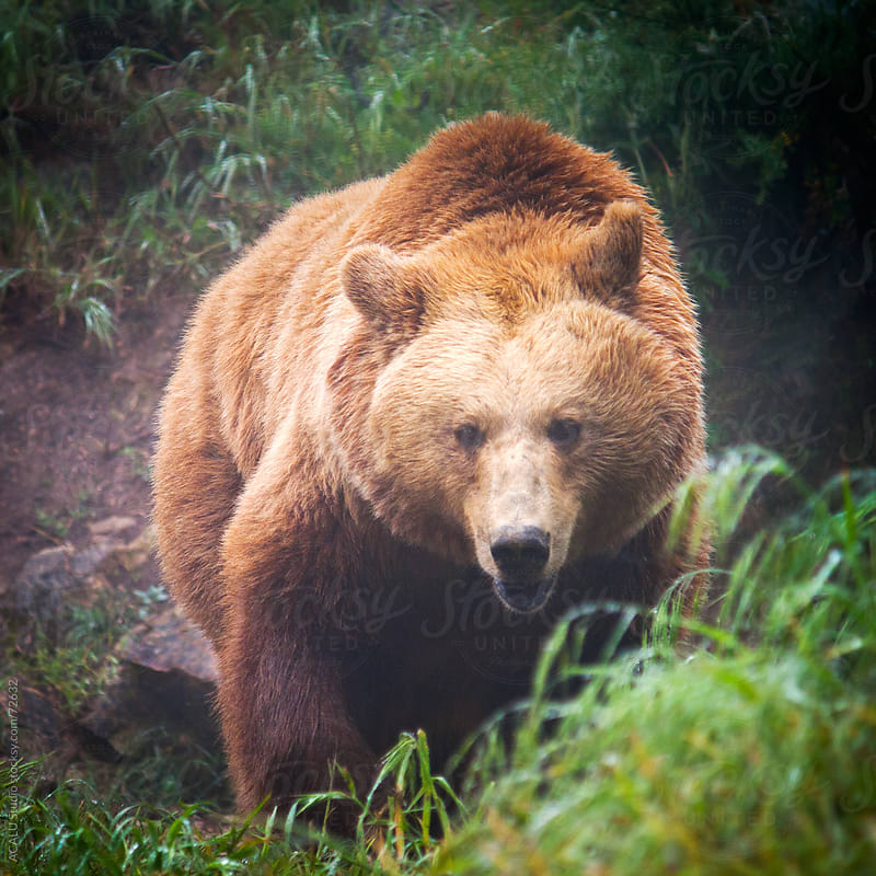Grizzly bear walking by ACALU Studio for Stocksy United