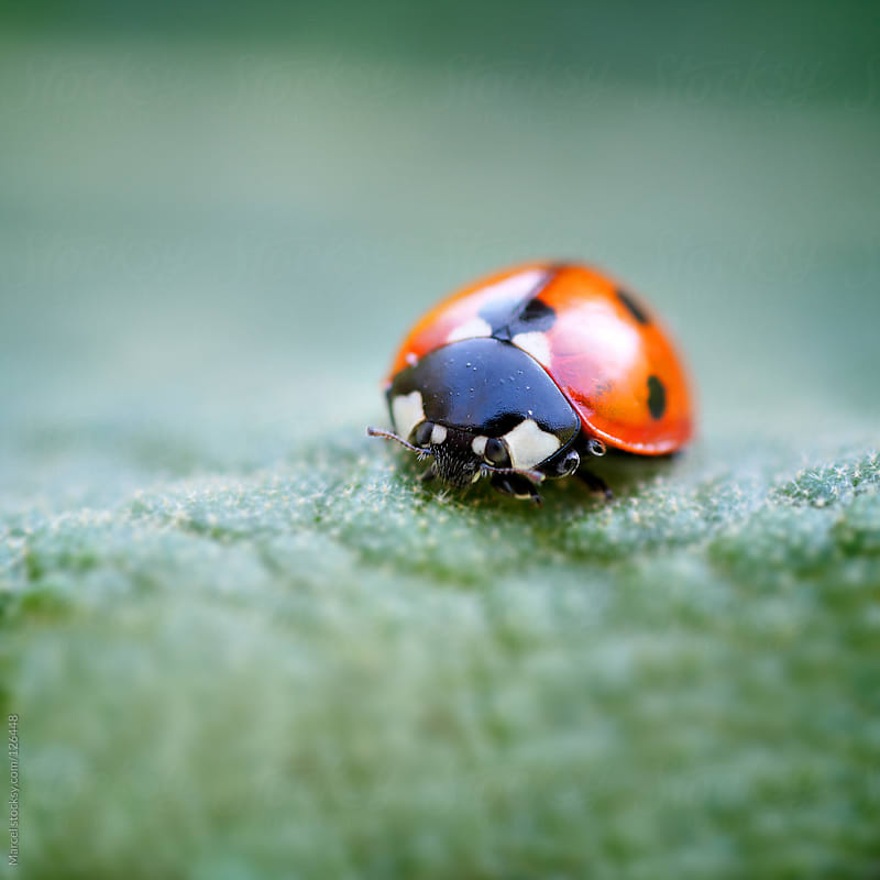Ladybug on rough green leaf by Marcel for Stocksy United