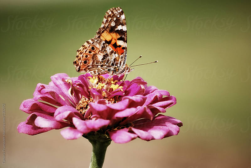 Butterfly On Hot Pink Flower by Tamara Pruessner for Stocksy United