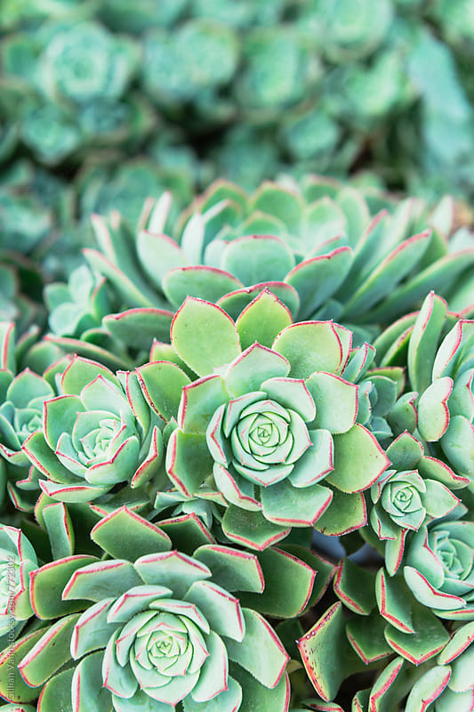 a cluster of succulent plants by Gillian Vann for Stocksy United