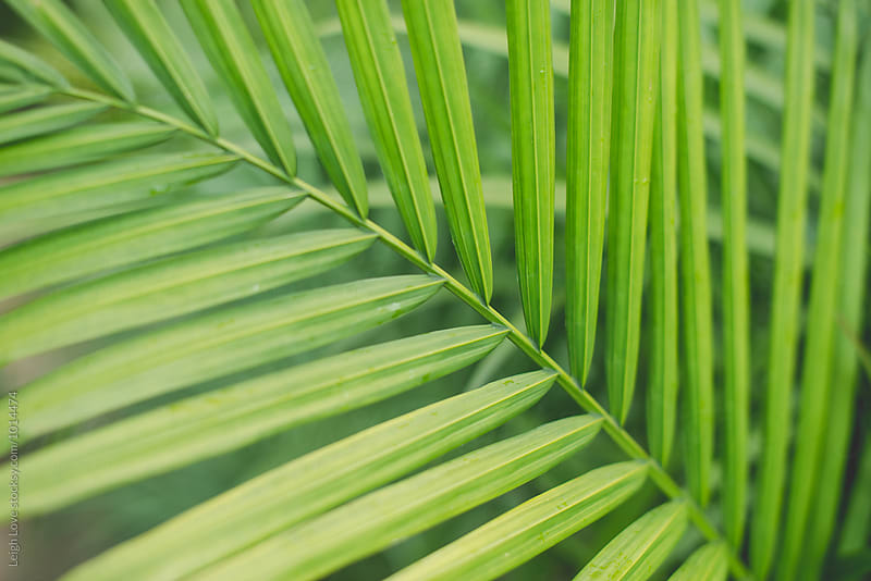 Green Majesty Palm Fronds by Leigh Love for Stocksy United