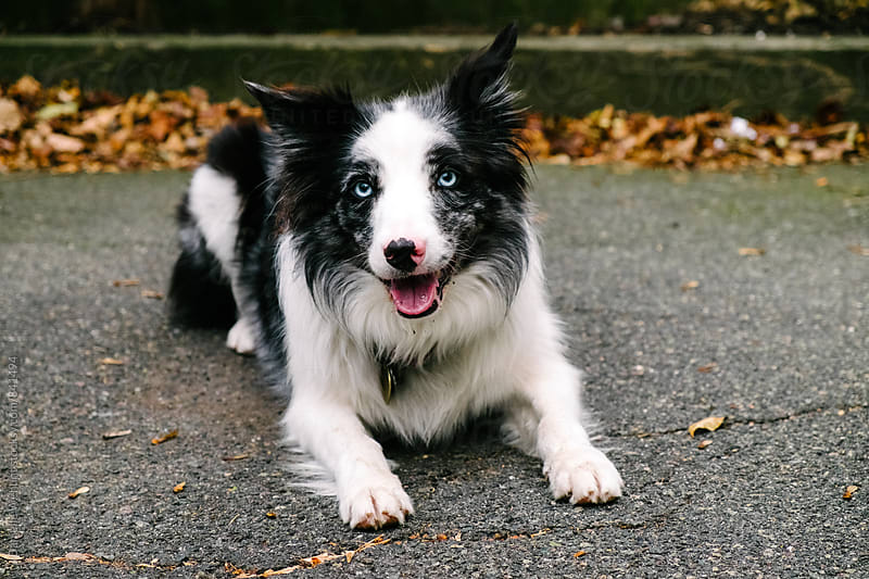 A black and white border collie sitting outside. by J Danielle Wehunt for Stocksy United