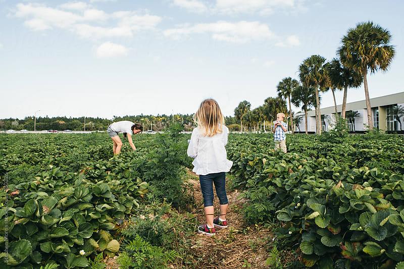 Family picking strawberries by Stephen Morris for Stocksy United