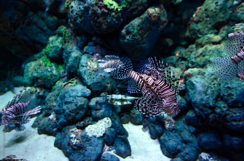 Lionfish among the rocks by Alice Nerr for Stocksy United