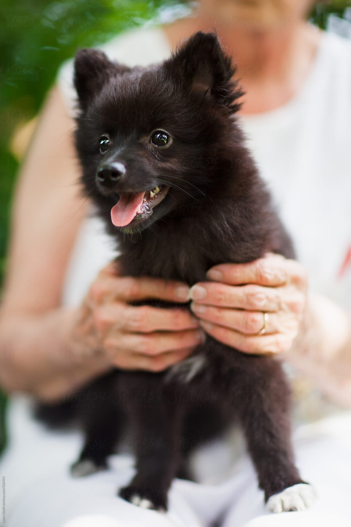 Black Long Haired Pomeranian Puppy Standing On Woman S Legs In Garden By Laura Stolfi Stocksy United