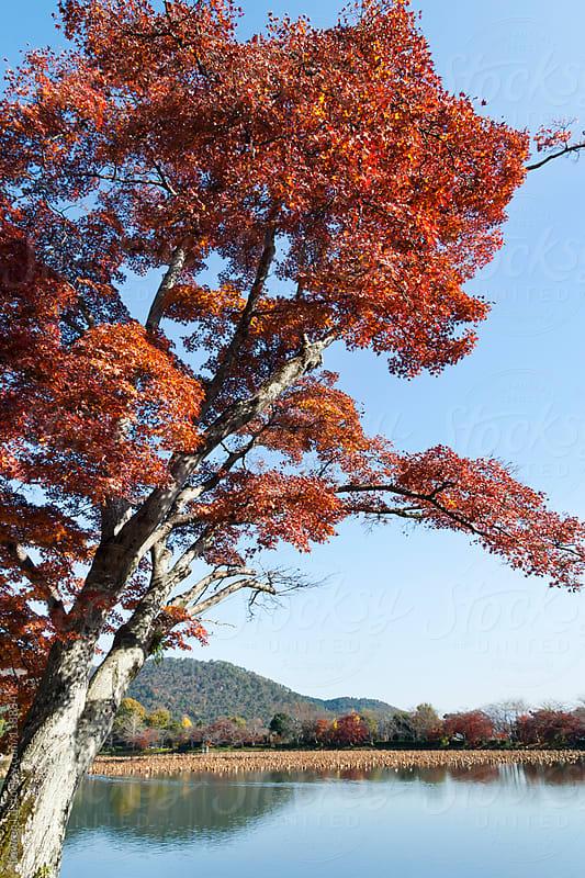 Autumn maple trees near lake by Lawren Lu for Stocksy United