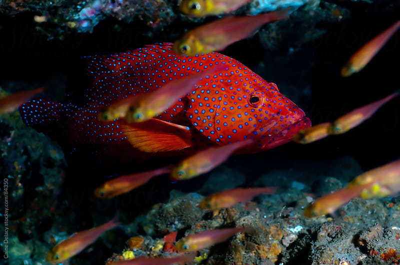 Coral trout hides within the crevices of a coral reef. by Caine Delacy for Stocksy United